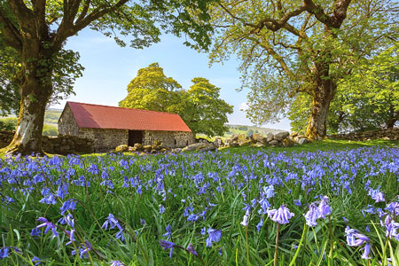 Stunning bluebells at Emsworthy Barn, Dartmoor