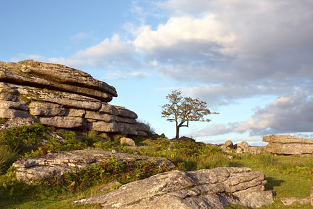 Lone tree at Feather Tor, Dartmoor