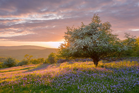 Golden sunset behind a lovely white hawthorn in a sea of bluebells